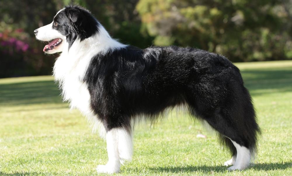 Порода собак бордер колли