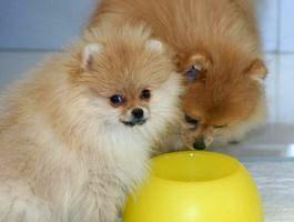 Чем кормить щенка шпица