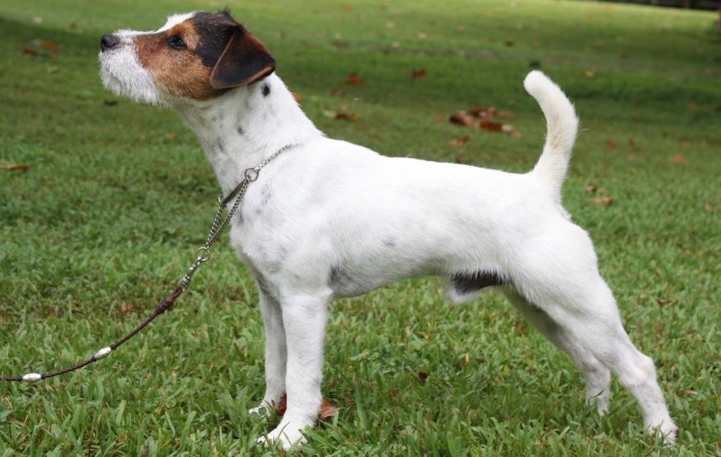 Краткое описание породы собаки из фильма «Маска»