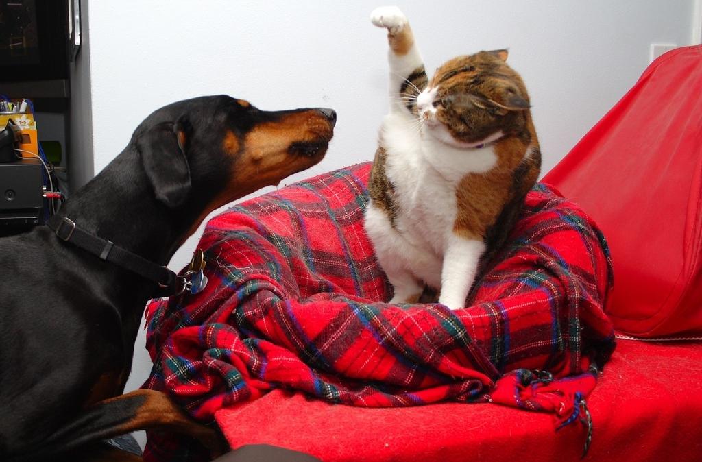 Доберман с кошкой