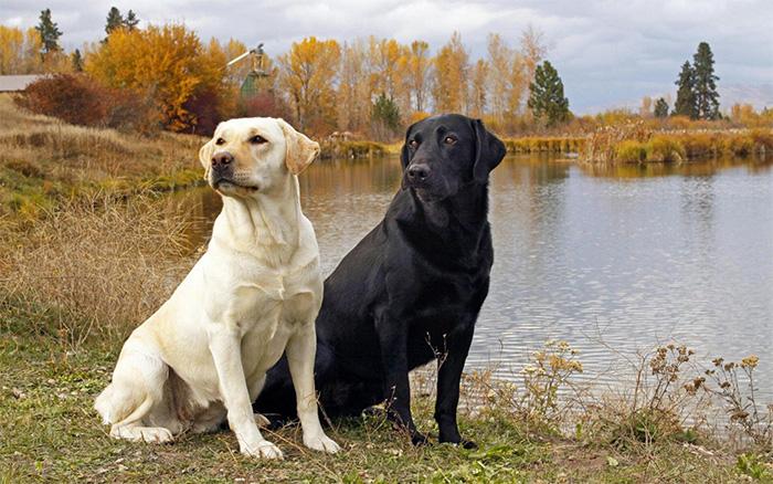 Порода собак лабрадор ретривер