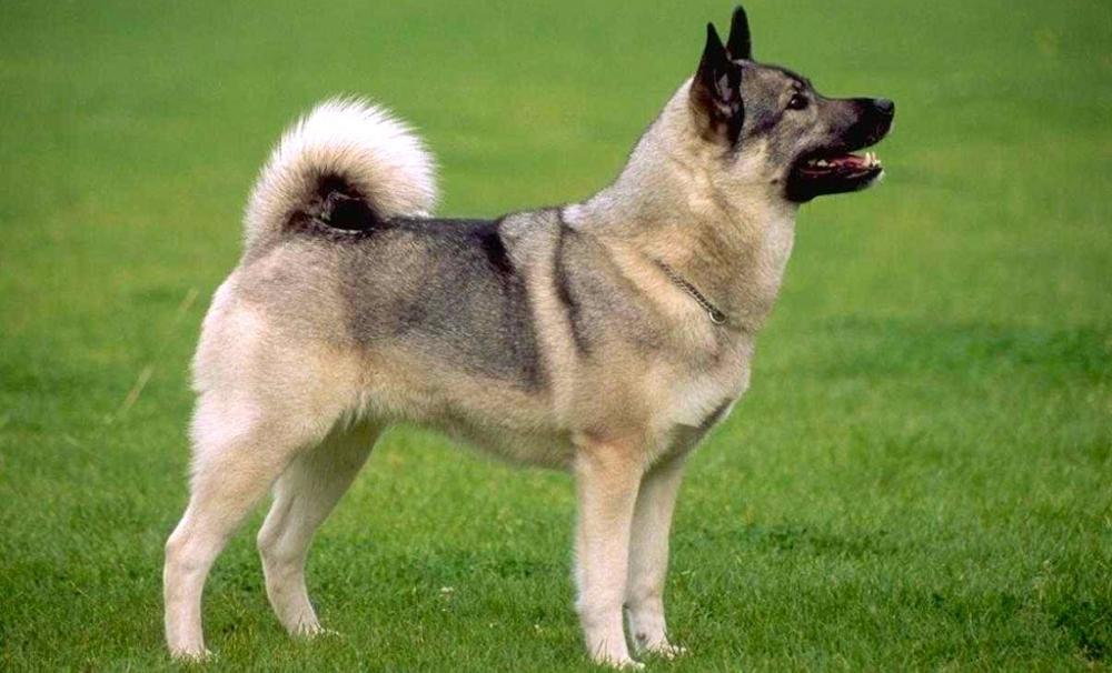 Норвежский элкхаунд (лосиная собака)