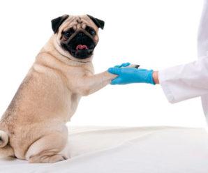 В какое время и какие прививки нужно ставить мопсу