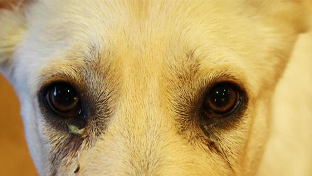 Глаза собаки