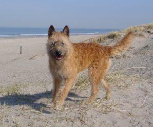 Бельгийская овчарка лакенуа: стандарты породы, содержание и воспитание