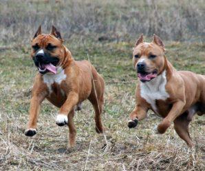 Бойцовские породы собак: обзор с названиями и фотографиями