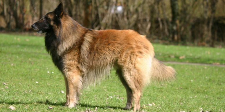 Бельгийская овчарка тервюрен: содержание и уход, стандарты породы