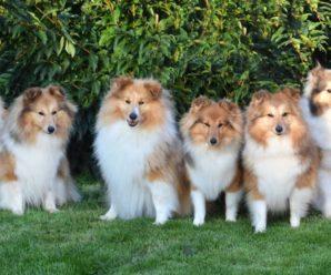 Шелти: характеристика породы, стандарты, выбор щенка, уход и содержание