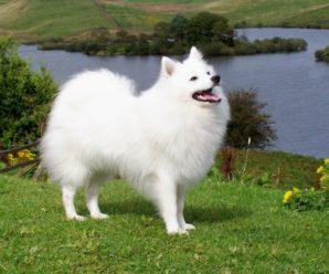 Японский шпиц: описание улыбчивой собаки, содержание, уход и отзывы
