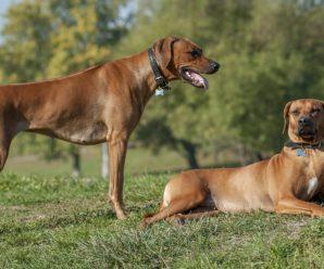 Порода собак Родезийский риджбек: подробная характеристика, содержание, уход