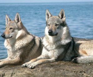 Чехословацкая волчья собака: прекрасный охранник и верный друг