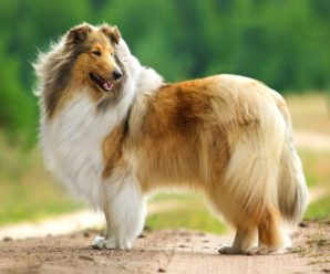 Колли или шотландская овчарка — собака с чувством собственного достоинства