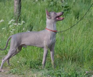 Голая мексиканская собака ксолоитцкуинтли — живое воплощение бога Ксолота