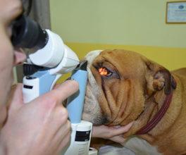Диагностика ветеринаром, бельма у собаки