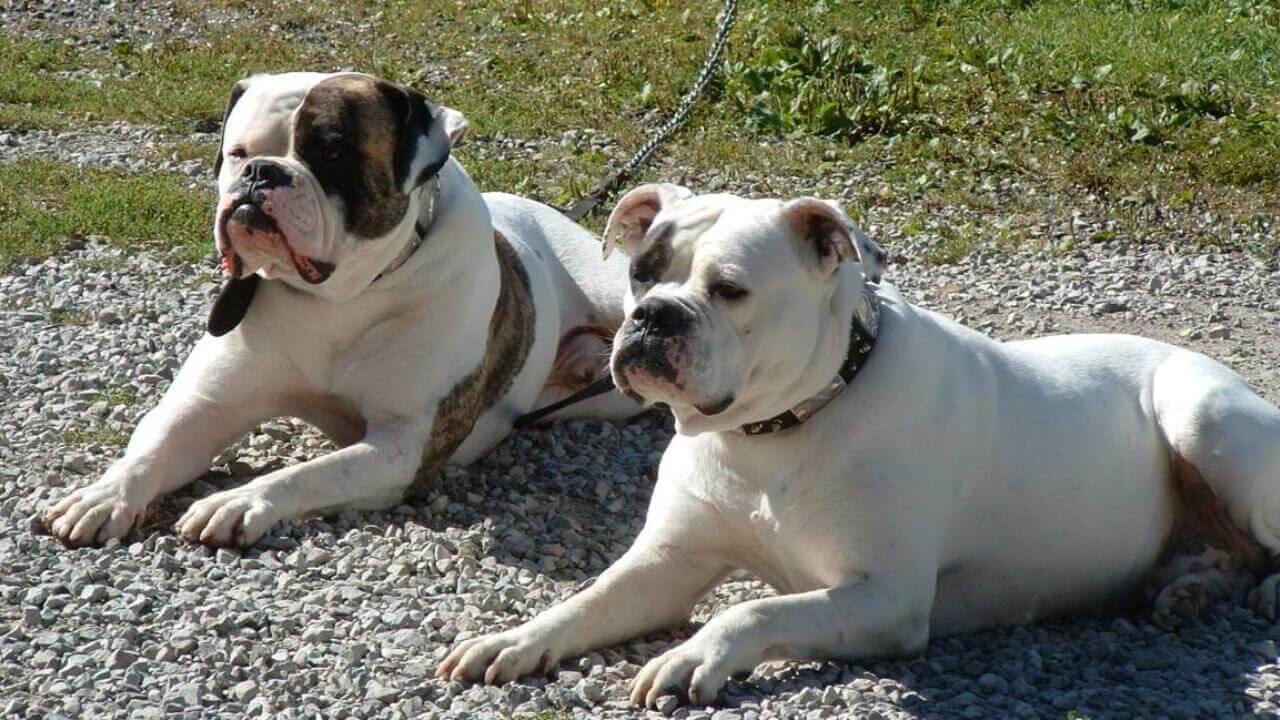 Собаки породы Английский бульдог