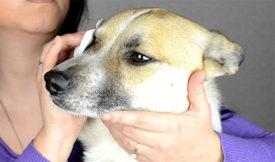Прозрачная пленка на глазу у собаки Ростов