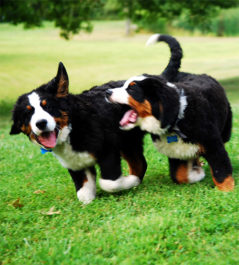 Признаки первой течки у собак