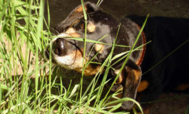 Пес ест зеленую траву