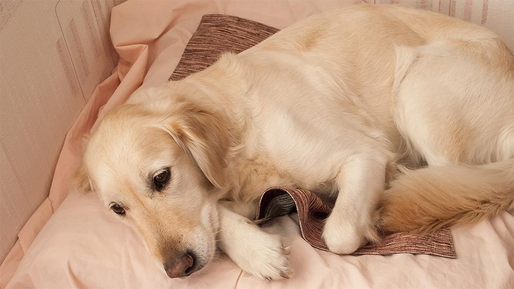 Третья неделя беременности собаки