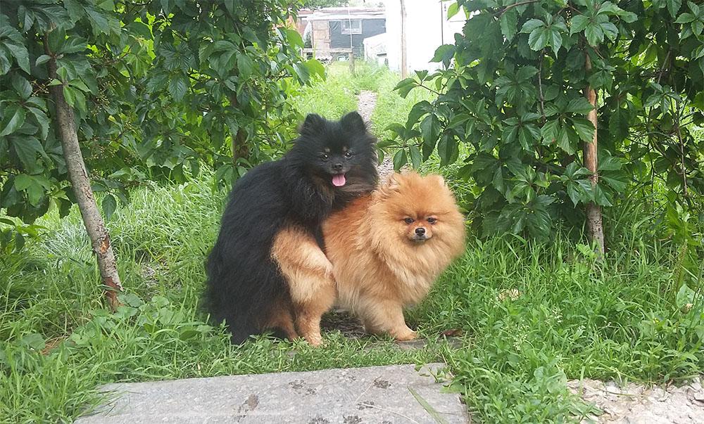 Вязка собак и подготовка суки к вязке
