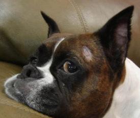 У собаки трихофития