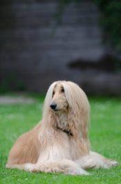 Характер породы собак афганская борзая