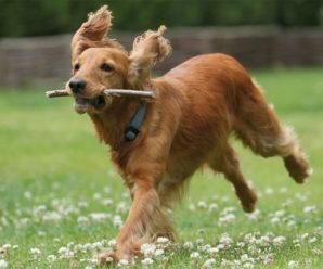 Американский кокер спаниель: характеристика качеств породы и особенности содержания собаки в доме