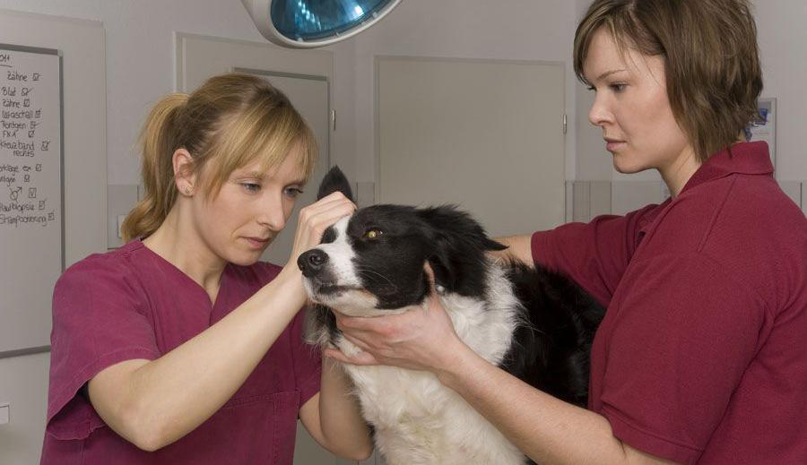 Отодектоз у собаки, лечение у ветеринара