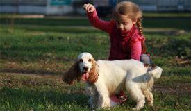 Выгул собаки Английский кокер-спаниель