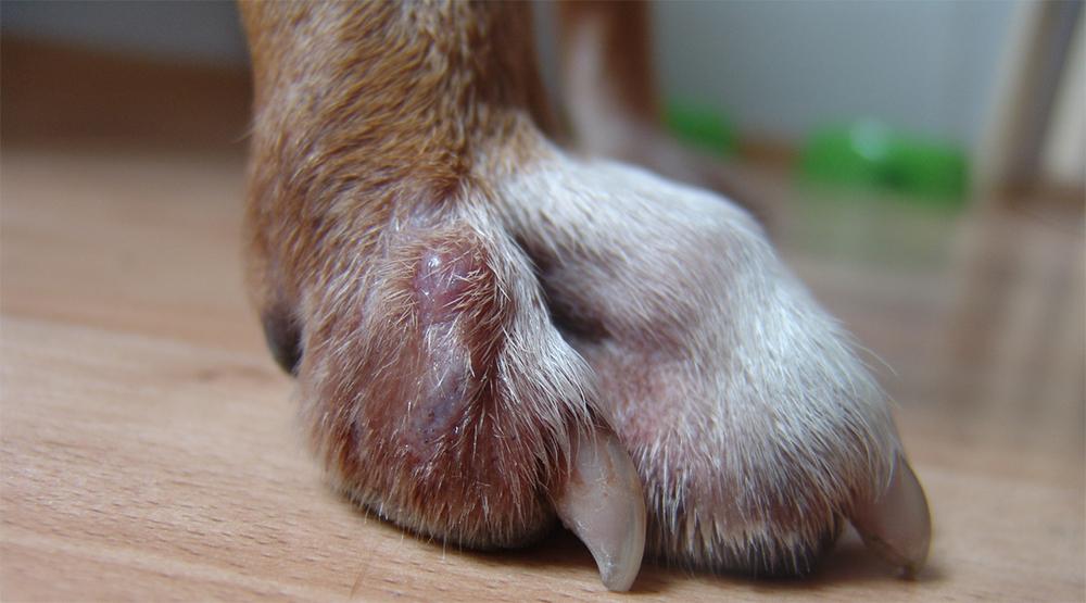 Пододерматит у собаки