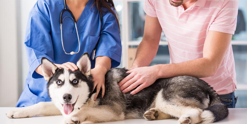 Стафилококк у собак, на приеме у врача