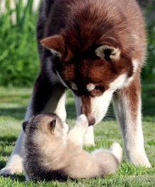 Выбираем щенка аляскинского маламута