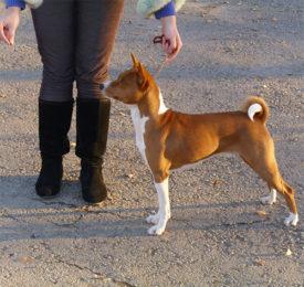 Дрессировка собак породы басенджи