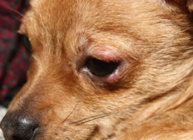 Ячмень у собаки