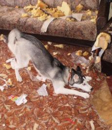Собака разгрызла мебель