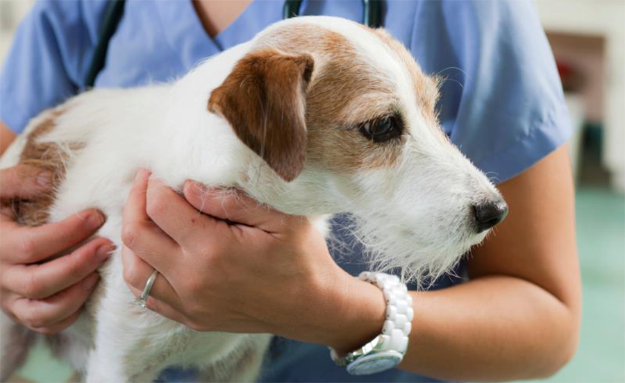 Собака у ветеринара перед кастрацией