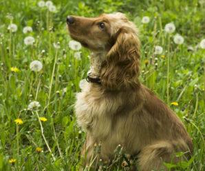 Английский кокер-спаниель:  активный пёс с весёлым нравом и задатками охотника