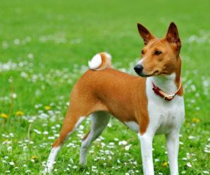 Описание породы собаки басенджи и как правильно ухаживать за ней