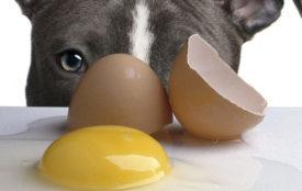 Сырые яйца для собаки