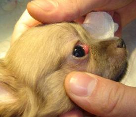 Болезни глаз у чихуахуа