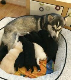 Собака с щенками, профилактика мастита