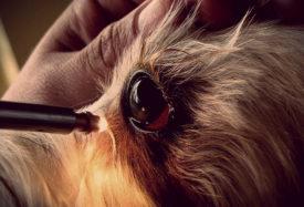 Собака у ветеринара на диагностики кератита