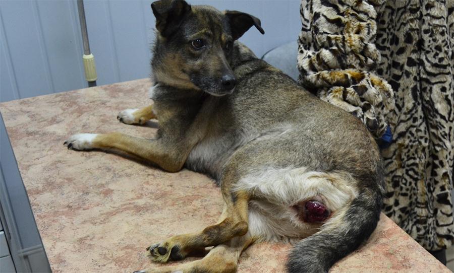Фото. Венерическая саркома у собак