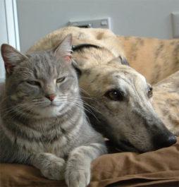 Грейхаунд с котом