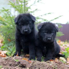 Щенки немецкой овчарки черного цвета, и выбор клички для них