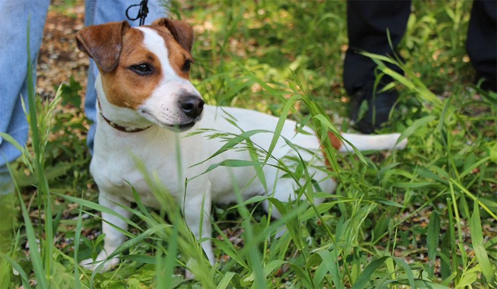 Характер собак джек-рассел-терьер