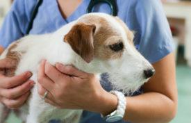 Лечение спондилеза у собак