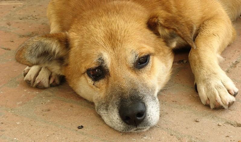 Формы лептоспироза у собак