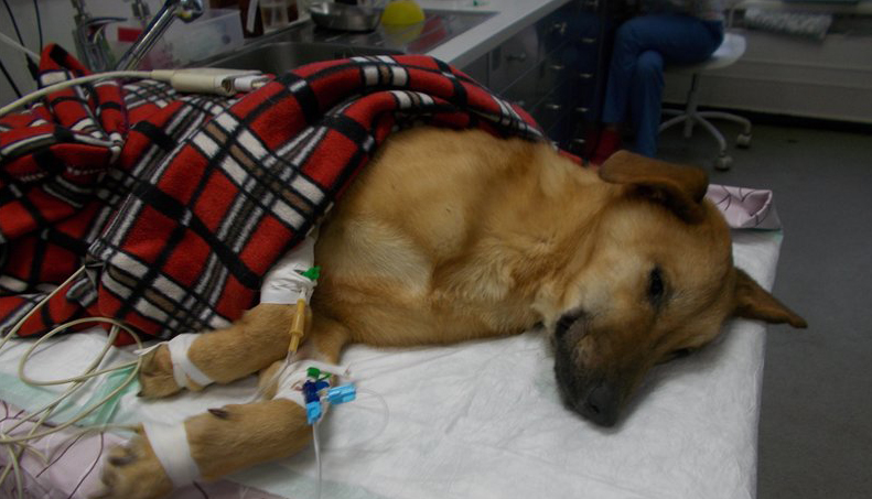 Собака в клиники, венерическая саркома