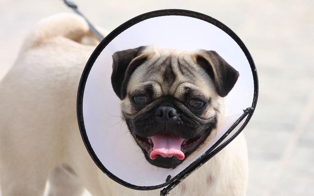 Уход за собакой при конъюнктивите